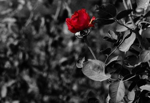 rose-med-graa-bakgrunn